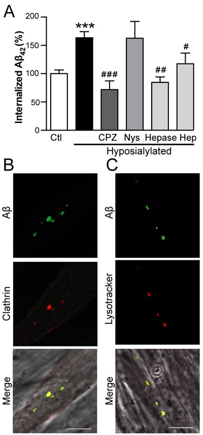 Aβ internalization in hyposialylated C2C12 myotubes is dependent on clathrin and HSPG.