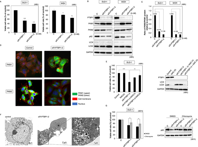 Knockdown of PTBP1 induced the same effects as did miR-1 and -133b.