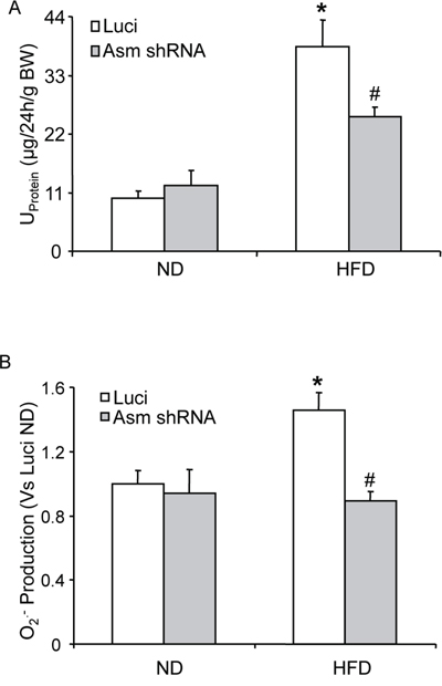 Effects of renal Asm gene silencing on glomerular injury and glomerular O2•− production in C57BL/6J mice with or without the high fat diet.