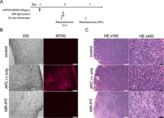 In vivo histological fluorescence distribution and histological NIR-PIT effect.