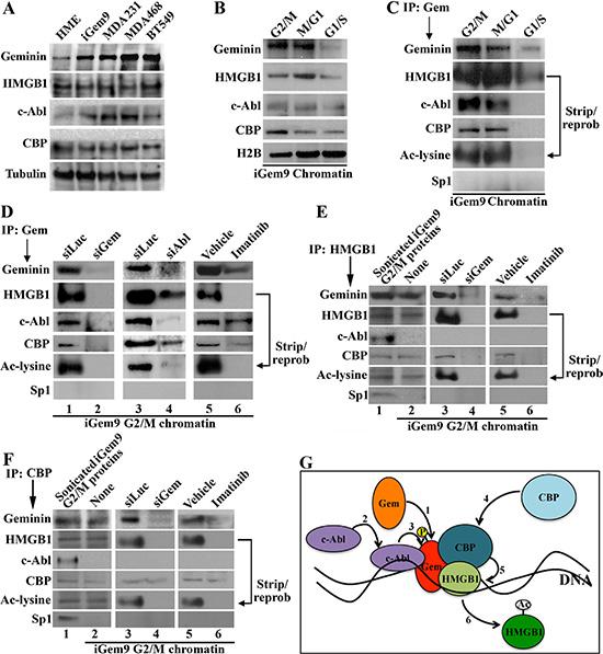Geminin promotes acetylation of chromatin-bound HMGB1.