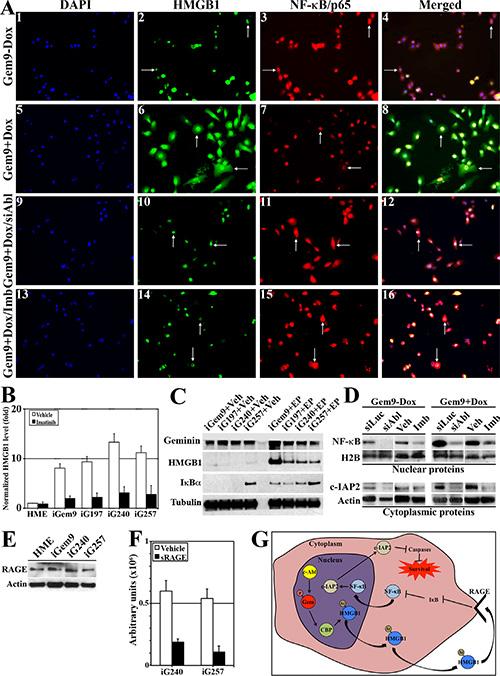 Geminin overexpression enhances HMGB1 acetylation, release from chromatin, cytoplasmic translocation and secretion.