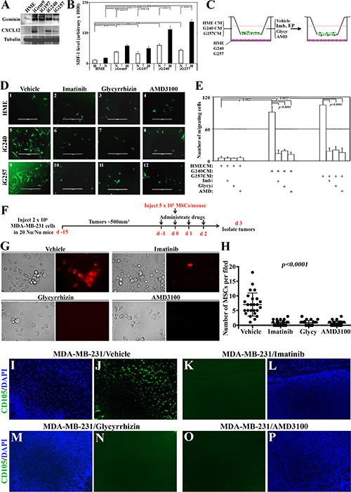 Novel signaling circuit involved in recruitment of MSCs to the vicinity of GemOE tumors, in vitro and in vivo.