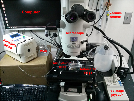 Set up used to deliver spatio-temporally precise light stimulation of optogenetic ion-translocators expressed in Xenopus embryo ITLSs.