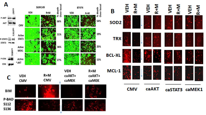 Activation of STAT3, AKT or MEK1 protects cells from [ruxolitinib + MMF], maintains SOD2, TRX, BCL-XL and MCL-1 expression and prevents expression/activation of BIM and BAD.