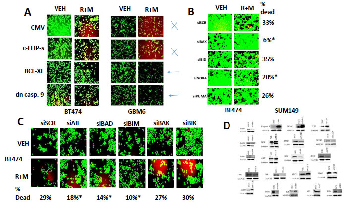 BAX, BAD and BIM signaling play important roles in [ruxolitinib + MMF] lethality.