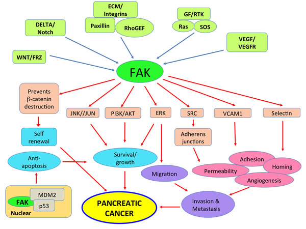 FAK plays a significant role in multiple signaling pathways that contribute to pancreatic cancer growth and metastasis.