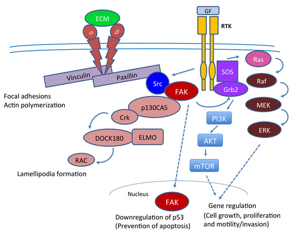 Cell signaling pathways in which FAK plays a key role in tumorigenesis.