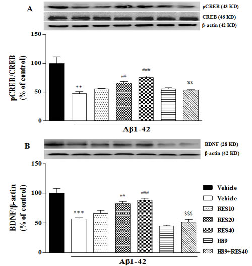 Effect of resveratrol on Aβ 42-induced changes in the ratio of pCREB/CREB.