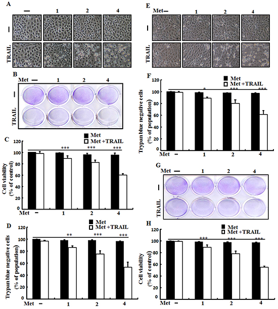 Metformin enhances TRAIL-induced apoptosis in lung adenocarcinoma cells.