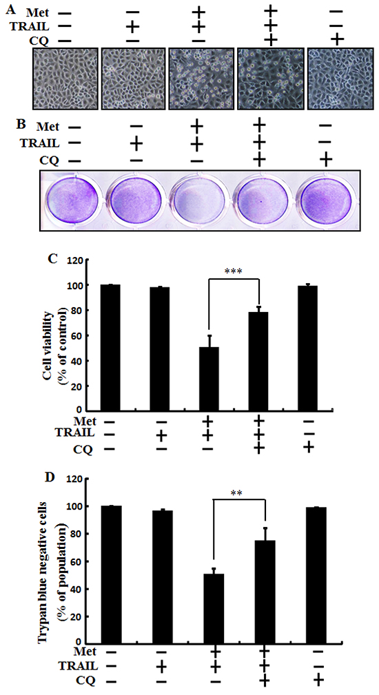 Metformin enhances TRAIL-induced tumor cell death is blocked by autophagy inhibitor.