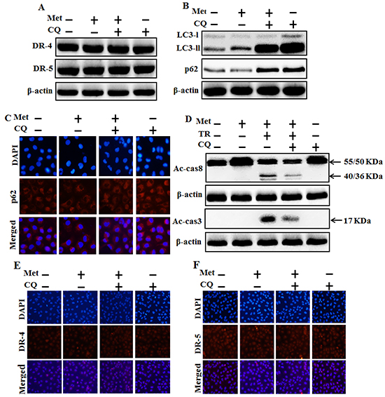 Autophagy inhibitor blocks TRAIL mediated tumor cell death by metformin via regulating autophagy flux.