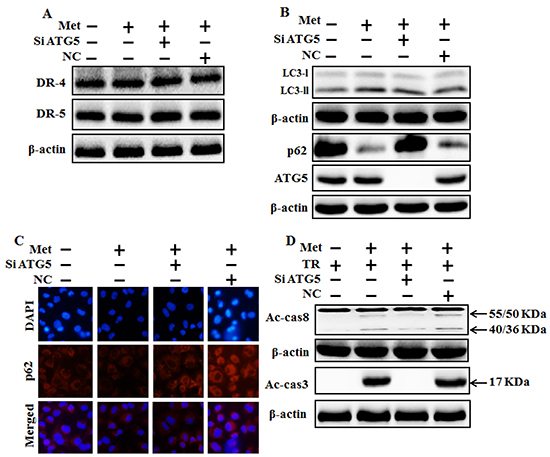 Genetic autophagy inhibitor blocks TRAIL-induced tumor cell death by metformin via regulating autophagy flux.
