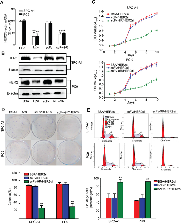 scFv-9R/HER2si suppressed HER2 expression in EGFR-positive cells and inhibited cell proliferation and colony formation.