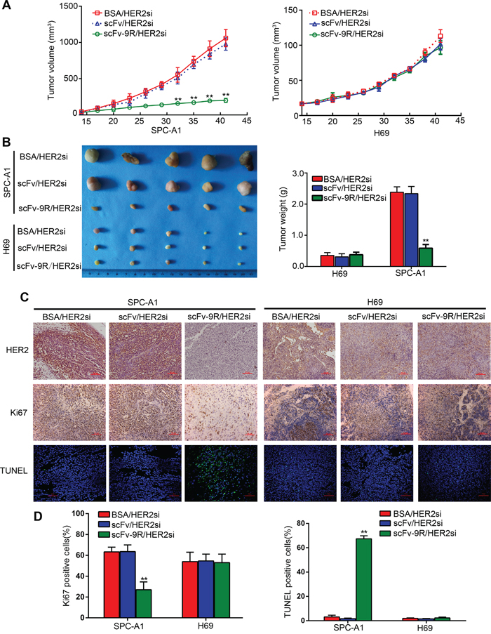 Intravenous injection of scFv-9R/HER2si complex suppressed xenograft tumor growth in nude mice.