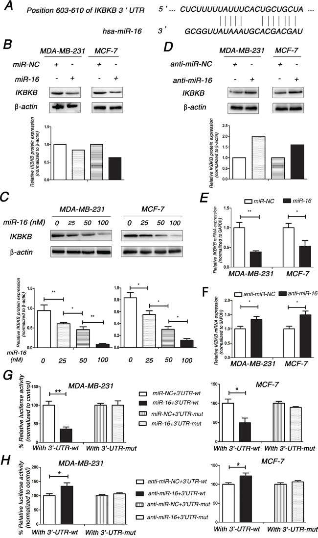 IKBKB is a direct target of miR-16 in breast cancer cells.