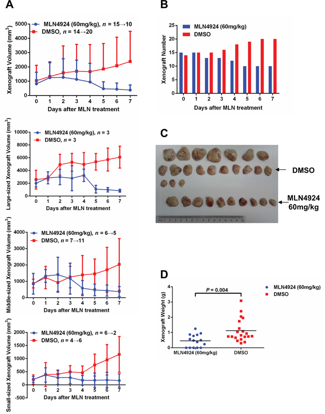 MLN4924 induces disease regression in an in-vivo xenograft model.