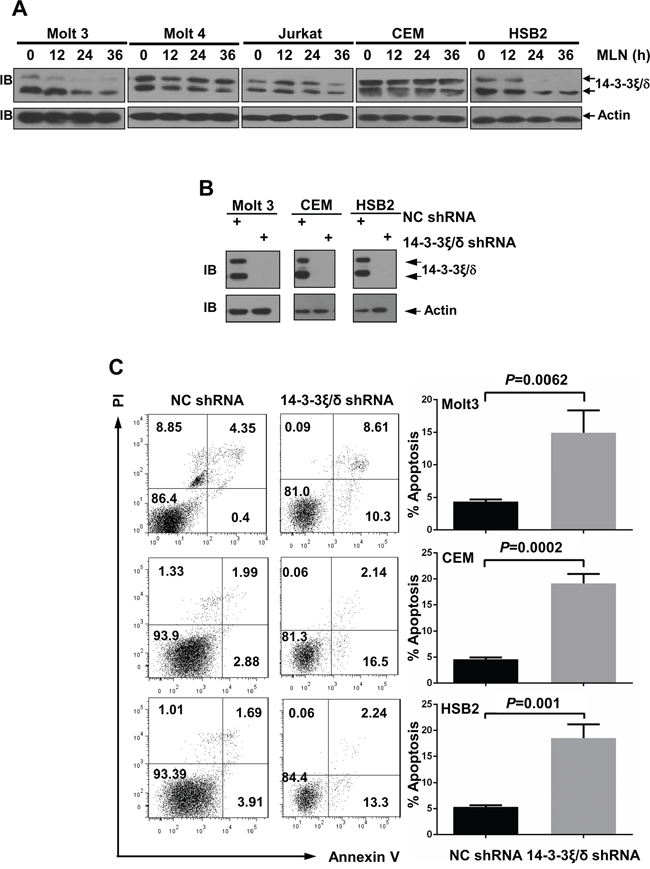 MLN4924 treatment reduces 14-3-3ξ\δ protein levels in T-ALL cells.