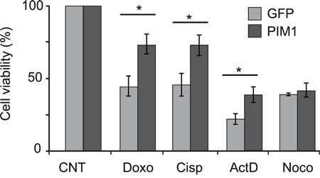 PIM1 overexpression causes reduced sensitivity to chemoterapeutic drugs.