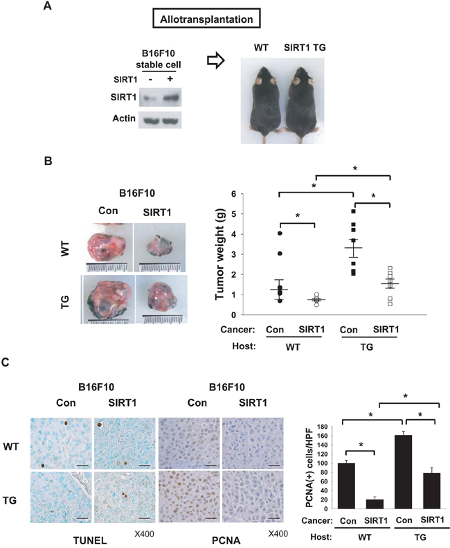 Effects of SIRT1 expressed in cancer and host cells on tumor growth.