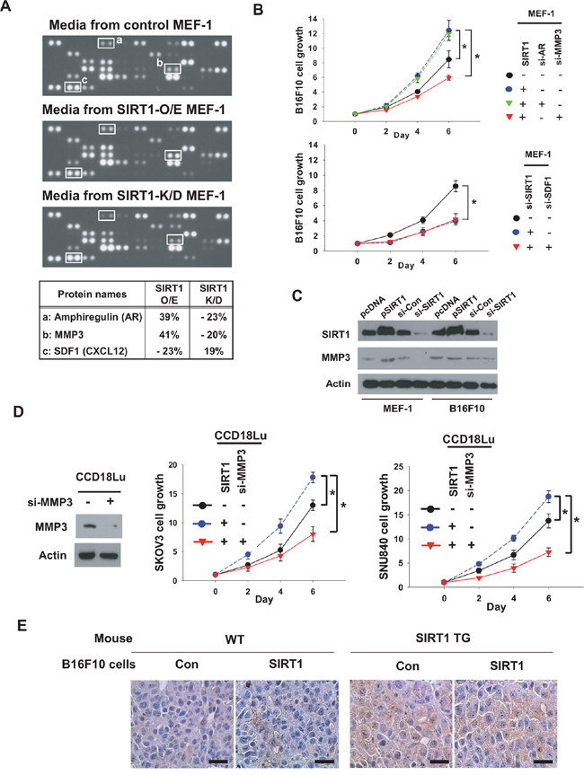 MMP3 is SIRT1-dependently secreted from fibroblasts and stimulates cancer cell growth.