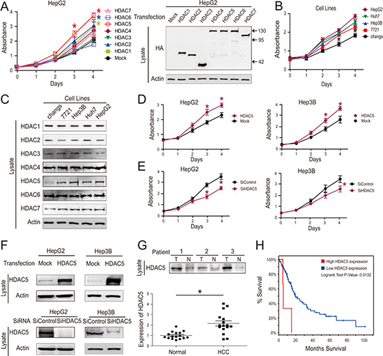 HDAC5 overexpression promotes HCC cell proliferation.