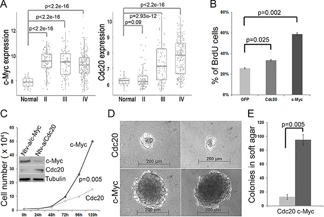 c-Myc and Cdc20 promote glial progenitor cell proliferation and transformation.