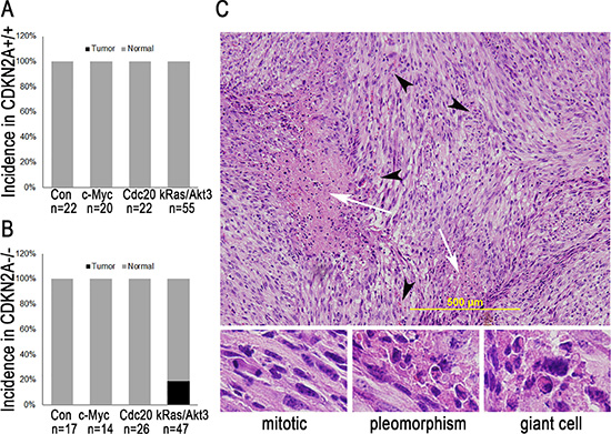 c-Myc or Cdc20 is insufficient to induce glioma, but kRas/Akt3 is sufficient to induce GBM in Ntv-a CDKN2A-null mice.