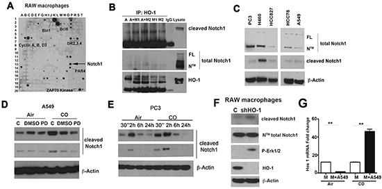 Heme degradation pathway crosstalks with Notch1 signaling.