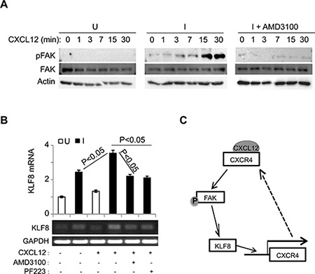 The upregulation of CXCR4 by KLF8 leads to a feed-forward activation of FAK upstream of KLF8.