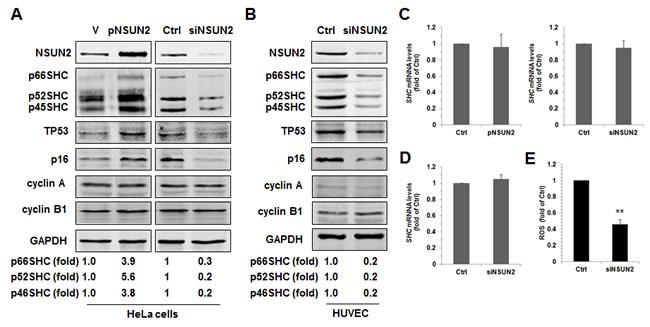 NSUN2 regulates SHC expression.