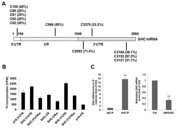 NSUN2 methylates