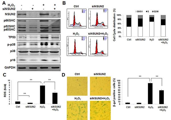 The NSUN2-SHC regulatory axis impacts on oxidative stress-induced cellular senescence.