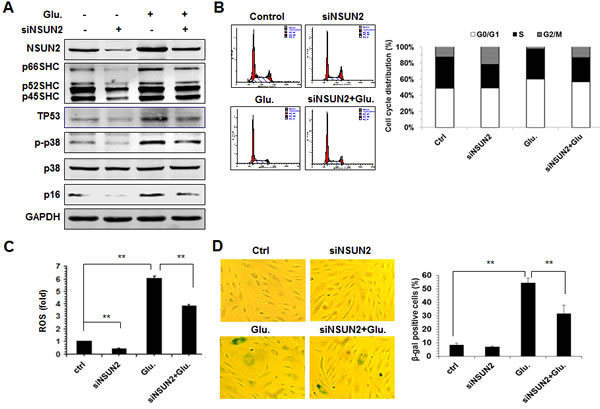 The NSUN2-mediated regulation of SHC impacts on high glucose-induced cellular senescence.