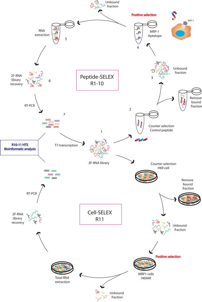 MRP1 aptamer selection strategy.
