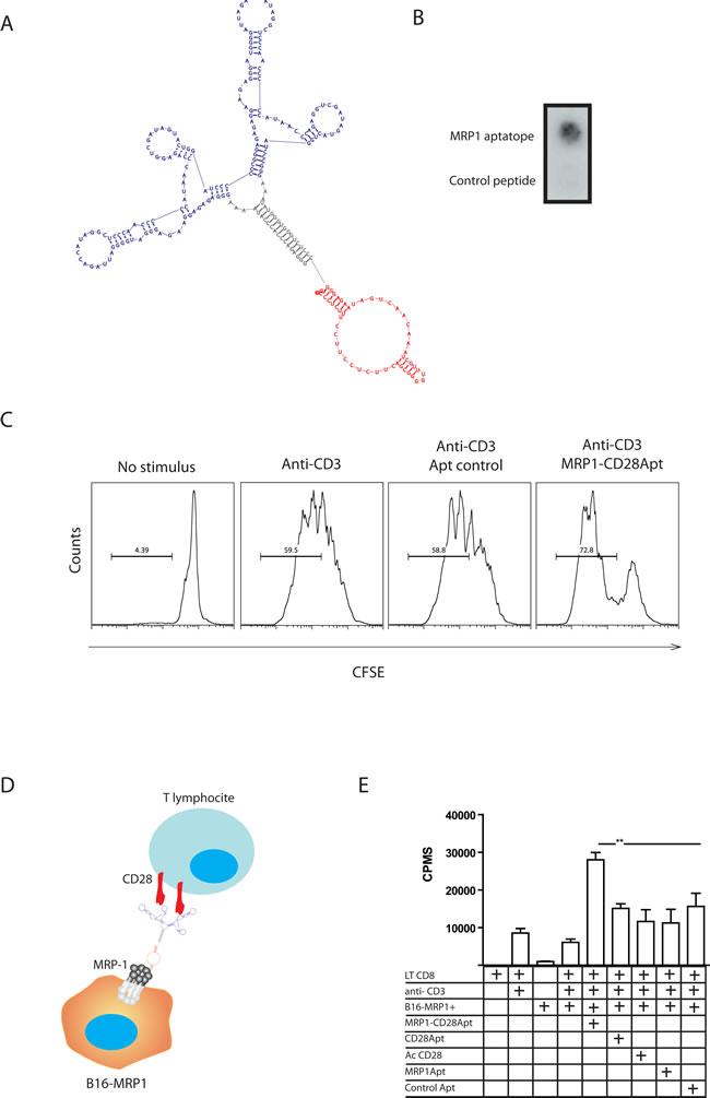 Characterization of MRP1-CD28 bi-specific aptamer.