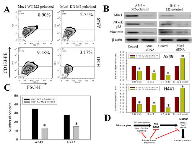 Decreased stemness-promoting ability in Muc1 silenced M2 TAMs.