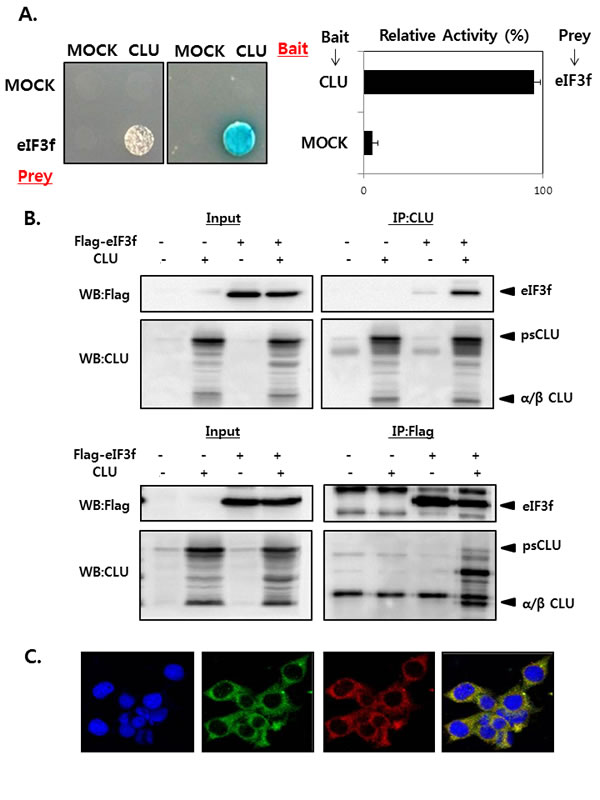 CLU interacts with eIF3f in the cytoplasm.