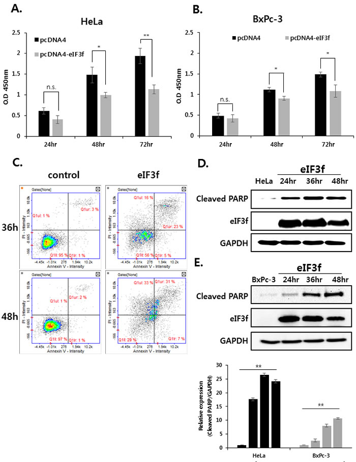 Overexpressed eIF3f inhibits cancer cell proliferation and induces apoptosis.