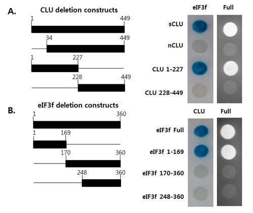 Mapping of the regions mediating the interaction between eIF3f and CLU.