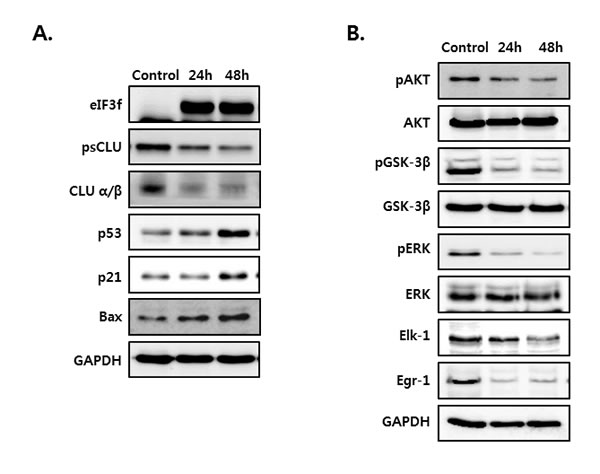 eIF3f overexpression activated p53 and inhibited Akt and ERK signaling.