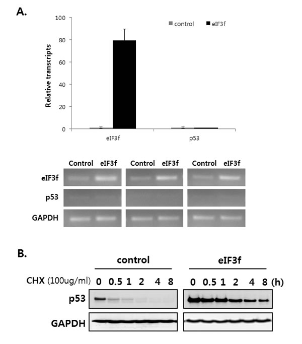 eIF3f stabilizes p53 protein.