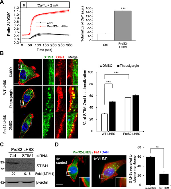 SOCE activation and peripheral recruitment of STIM1 in hepatocytes under ER stress.