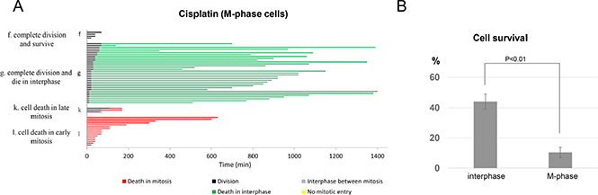 Mitotic cells are hypersensitive to cisplatin.
