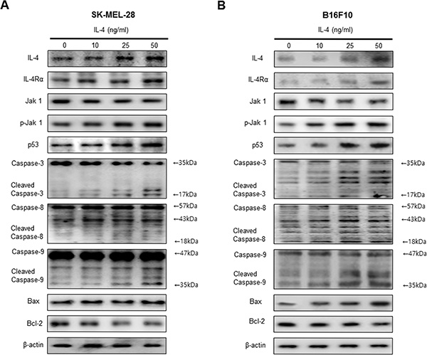 Effect of IL-4 on expression of apoptotic cell death regulation proteins.