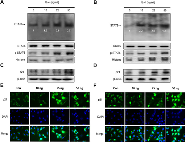 Effect of IL-4 on STAT6 activation and expression of p21.