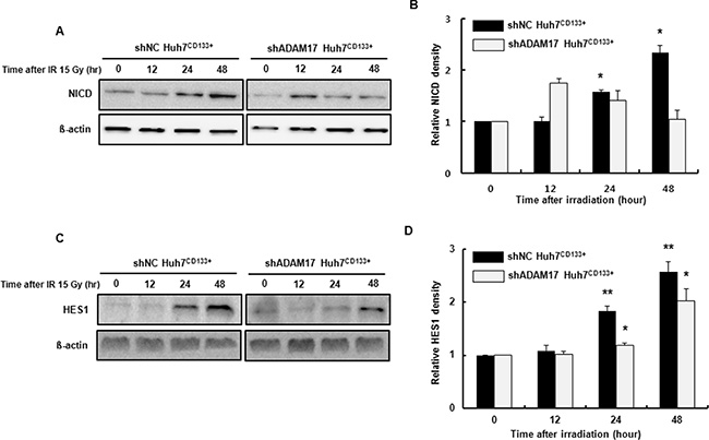 Notch signaling-associated protein expression in shADAM17CD133+ and shNCCD133+ cells following radiation exposure.
