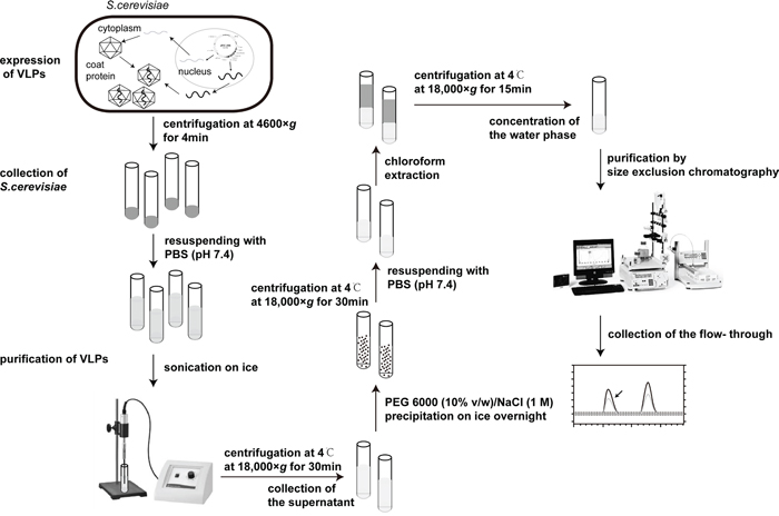 The flow chart of expression and purification of VLPs.