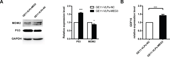 MEG3 increases p53 activation.