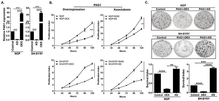PAG1 is a tumor suppressor in neuroblastoma in vitro.